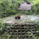Red Panda on cement.